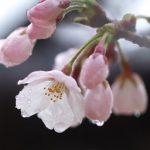 お花見が雨で中止に!子連れでも楽しめるおすすめの場所やプラン!