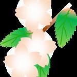 葉桜とは?時期はいつからいつまでのことを言う?桜葉との違いは?
